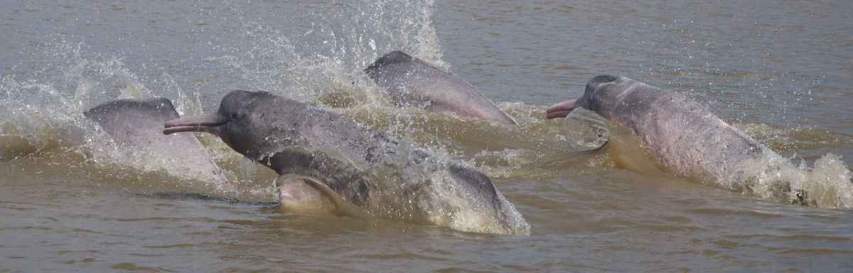 Delfines Lontra. Foto: Fernando Trujillo, Fundación Omacha