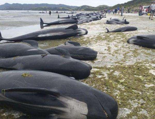 NZ01 FAREWELL SPIT (NUEVA ZELANDA) 10/02/2017.- Imagen facilitada por el Departamento de Conservación de Nueva Zelanda (DOC, en sus siglas en inglés) que muestra docenas de ballenas varadas en una playa de Farewell Spit en la Bahía Dorada de Nueva Zelanda, hoy, 10 de febrero de 2017. Alrededor de 416 ballenas piloto han quedado varadas en la orilla, de las cuales 300 han muerto, mientras voluntarios y miembros del DOC luchan por devolver a los animales al mar. EFE/New Zealand Department Of Conser MEJOR CALIDAD POSIBLE. SOLO USO EDITORIAL, PROHIBIDA SU VENTA