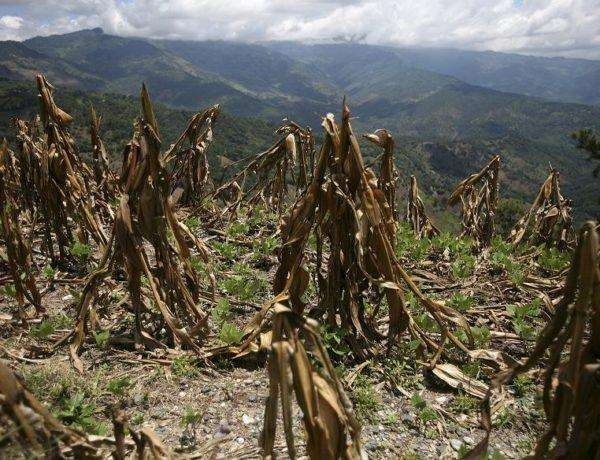 """A view of corn crop, ruined by drought, in Baja Verapaz September 23, 2009. Guatemala's President Alvaro Colom declared a state of """"calamity"""" over food supply in Guatemala, where a prolonged dry spell has reduced the harvest of staples like maize and beans by up to 50 percent.  REUTERS/Daniel LeClair   (GUATEMALA DISASTER ENVIRONMENT BUSINESS)"""
