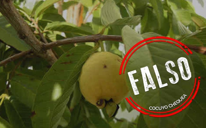 ¿La infusión de hojas de guayaba puede prevenir o curar el COVID-19?