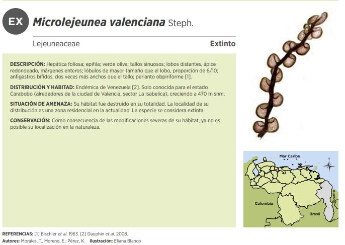 microlejeunea valenciana